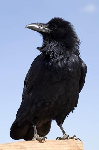Corvid family of birds