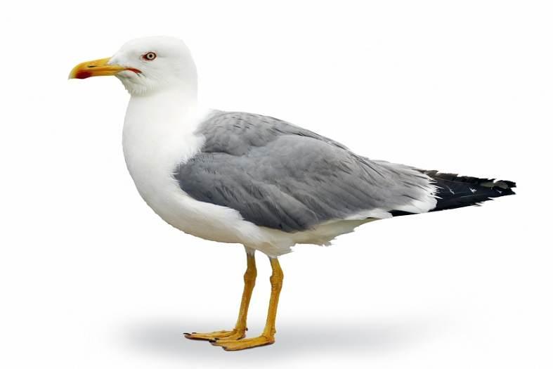PiCAS Humane Non Lethal Methods of Bird Pest Control Problem